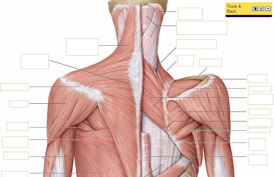 Your Back Neck Muscles What They Look Like Bizlinks